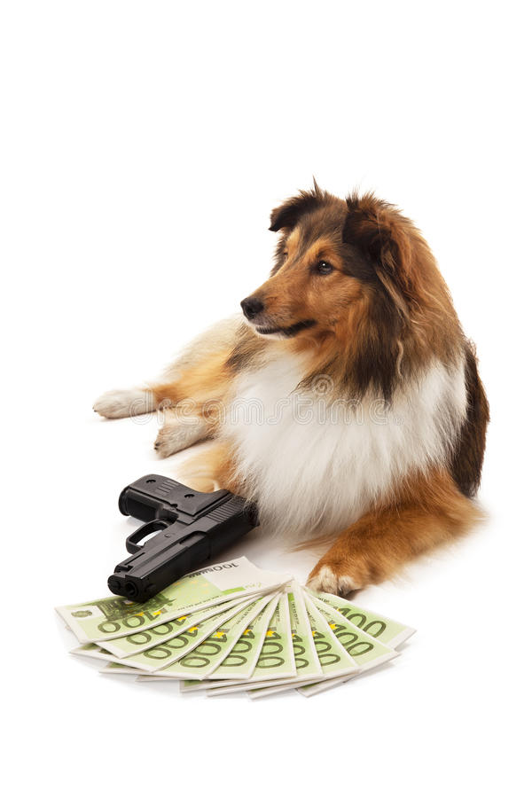 Shetland fårhund med handeldvapen- och eurosedeln royaltyfria bilder
