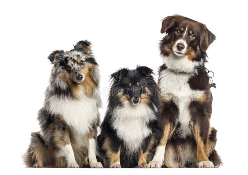 Shetland fårhund och australisk herde, hundkapplöpning i rad, vit royaltyfria foton