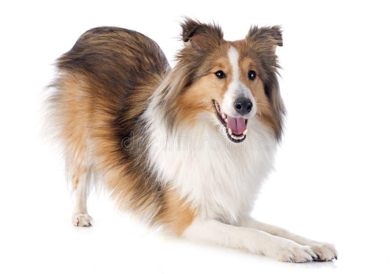 Shetland hund royaltyfria bilder