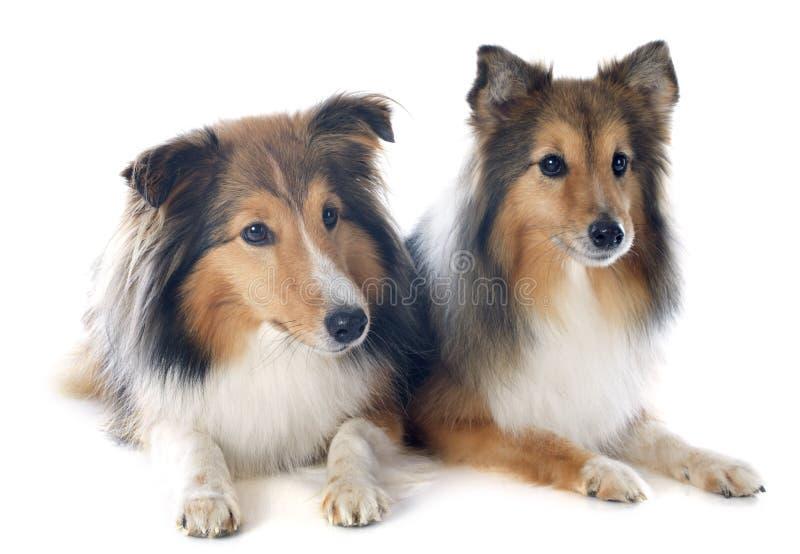 Shetland hundkapplöpning arkivbild