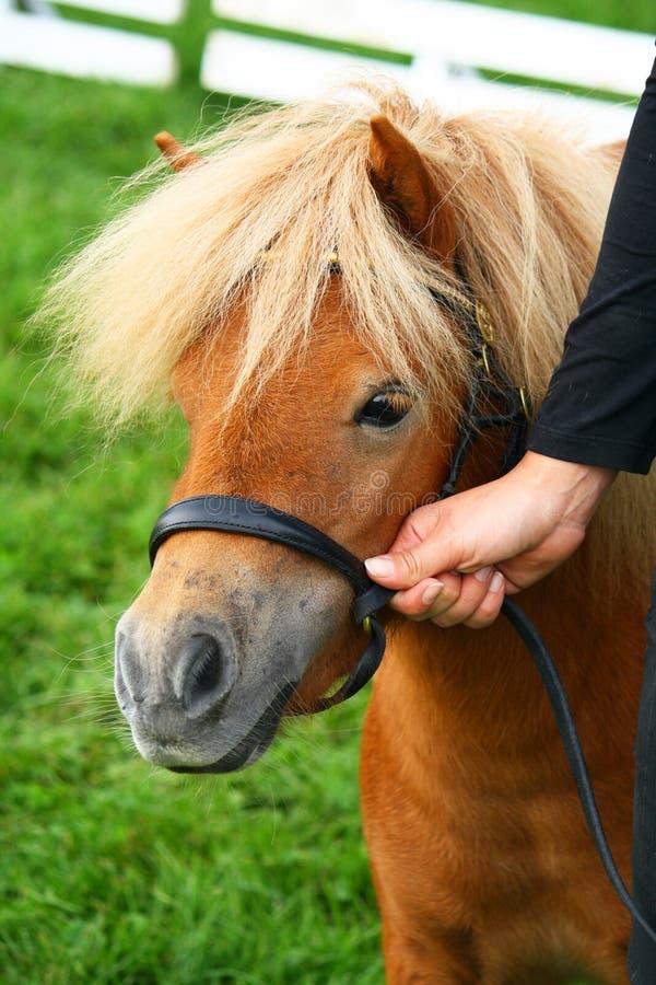 Shetland mini pony. Held by woman hand royalty free stock photos