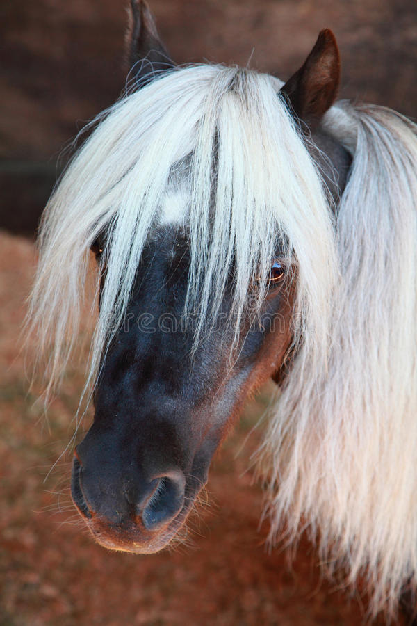 Free Shetland Pony Stock Photos - 15763903