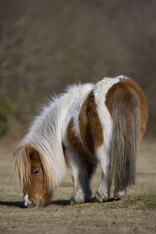 Shetland-Pony stockfoto