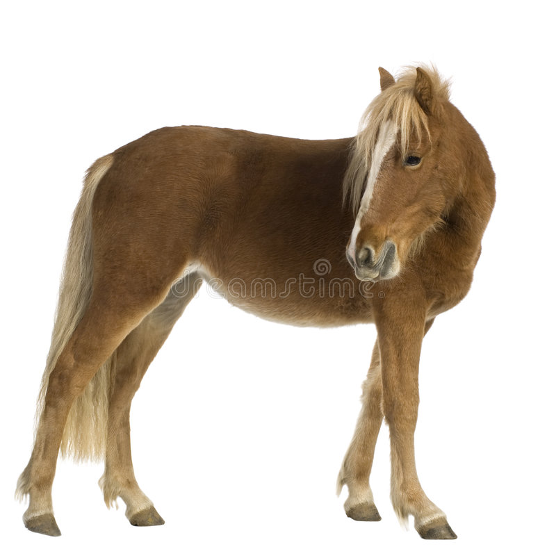 Shetland pony (2 years) stock photography