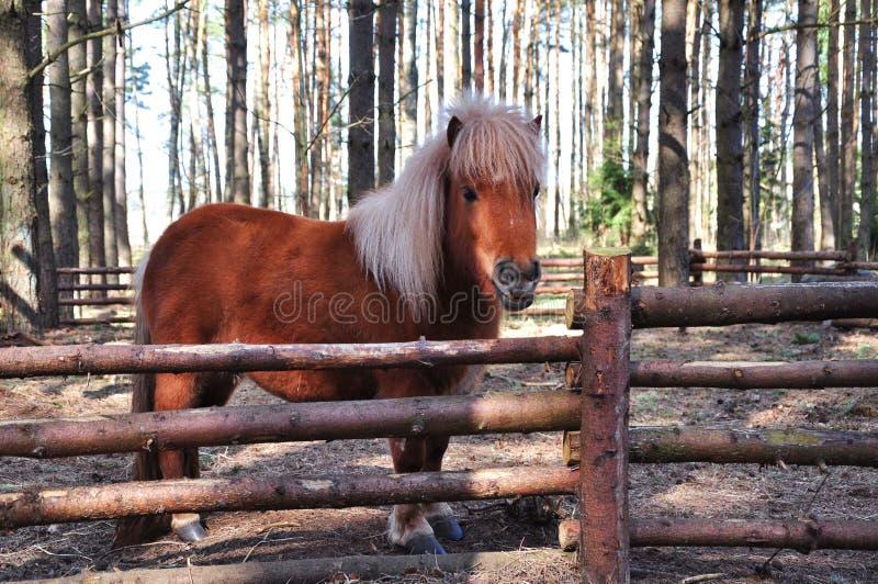 Shetland-Pony lizenzfreies stockfoto