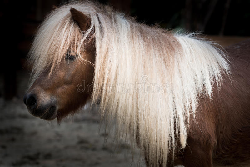 Shetland pony. Horse close up royalty free stock photos