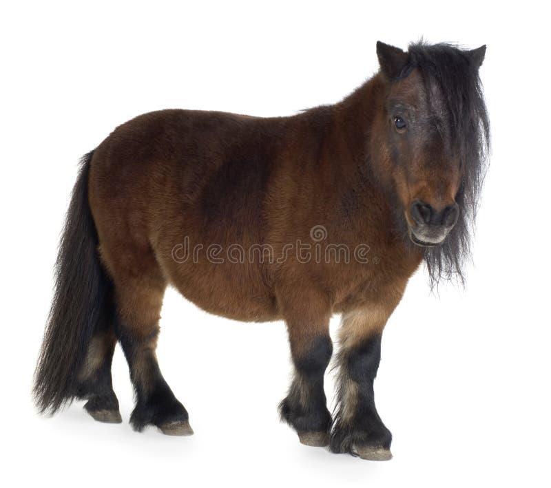 Shetland-Pony lizenzfreies stockbild