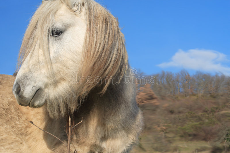 Shetland Pony. Rugged shetland pony, looking for trouble stock photo