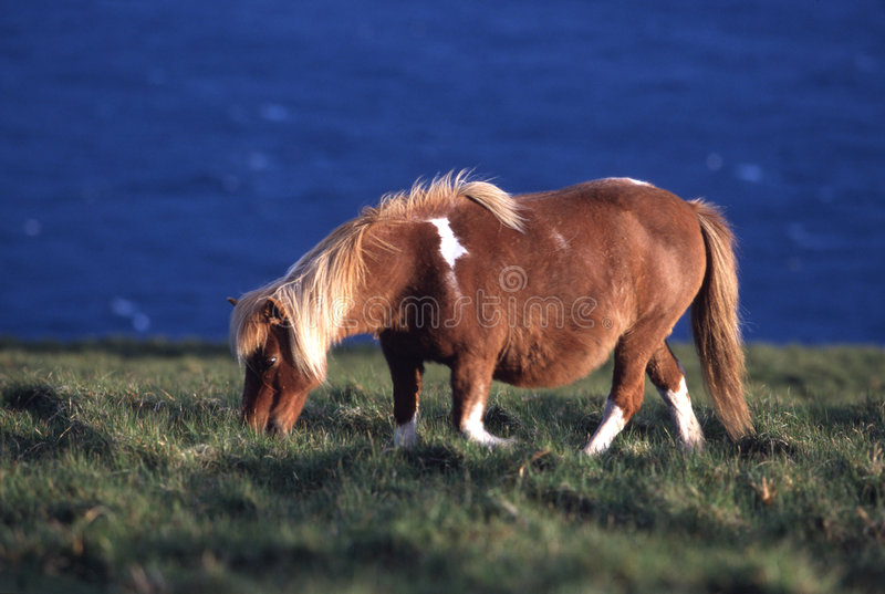 Download Shetland Pony stock photo. Image of ponies, grazing, brown - 81726