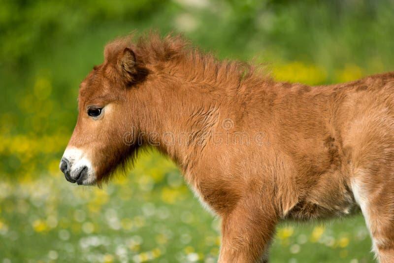 Shetland Pony Foal photographie stock libre de droits