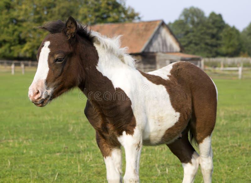 Shetland pony foal. Cute young shetland pony foal royalty free stock images