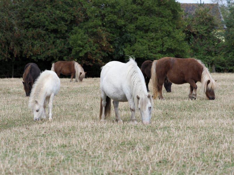 Shetland Pony Herd stock image
