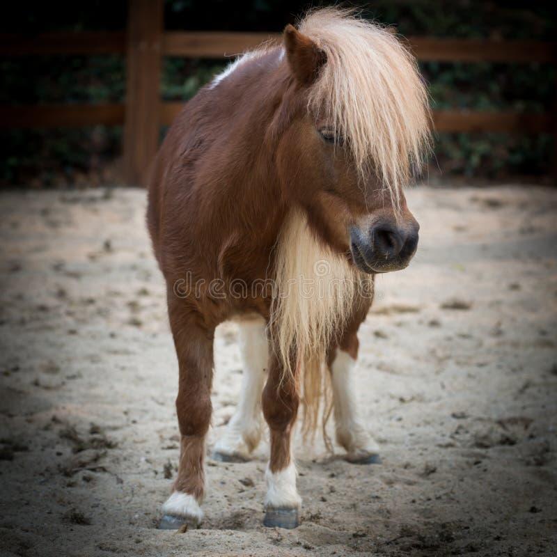 Shetland pony. Horse close up stock image