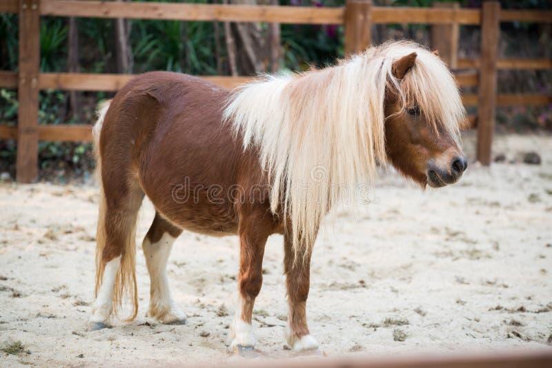 Shetland pony. Horse close up royalty free stock photo