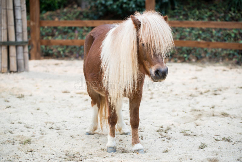 Shetland pony. Horse on ground royalty free stock photography
