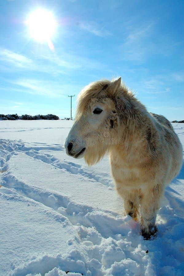 Shetland-Pony im Winter lizenzfreies stockfoto