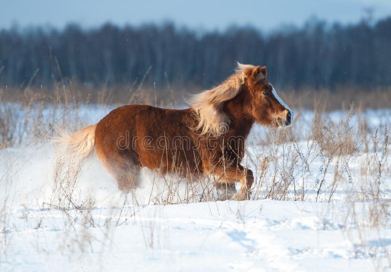 Shetland pony running in winter royalty free stock photo