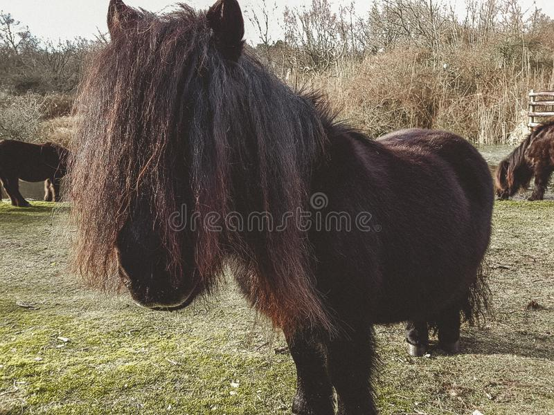 A shetland pony in the Winter royalty free stock image