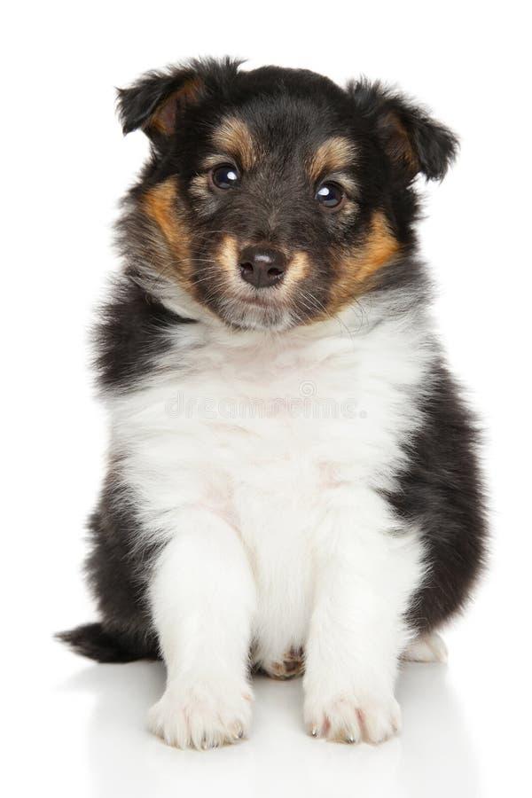 Shetland puppy royalty free stock photo