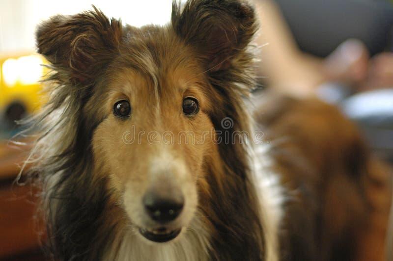 Shetland-Schäferhund lizenzfreie stockfotos