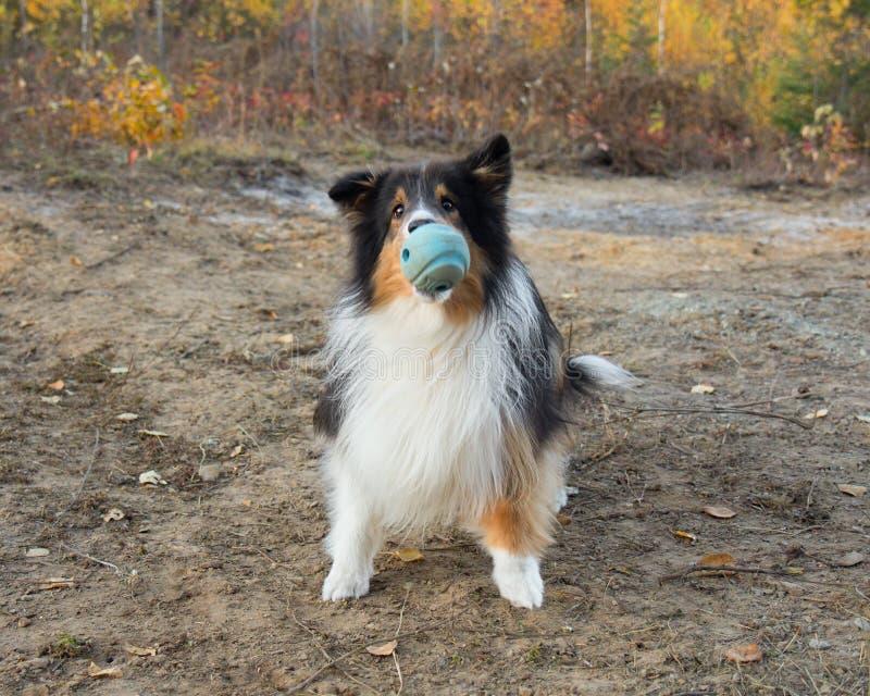 Shetland Sheepdog Ball Fall Autumn Catch. Action royalty free stock image