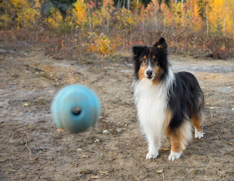 Shetland Sheepdog Ball Fall Autumn. Dog stock photography