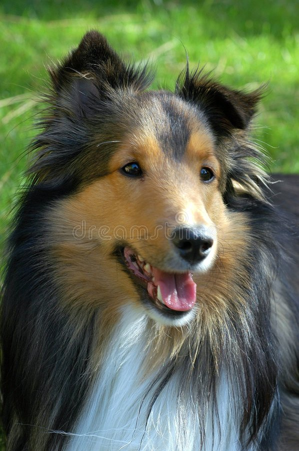 Shetland Sheepdog Close Up. Closeup of shaded mahogany sable Sheltie seeming to smile in portrait with bright dappled sunlit green grass in the background royalty free stock image