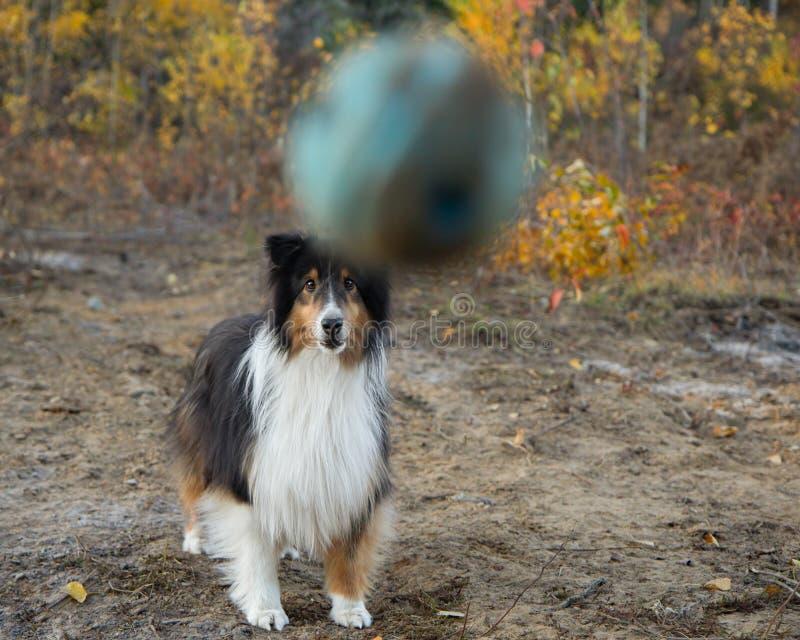 Shetland Sheepdog Fall Autumn Ball. Air royalty free stock photo