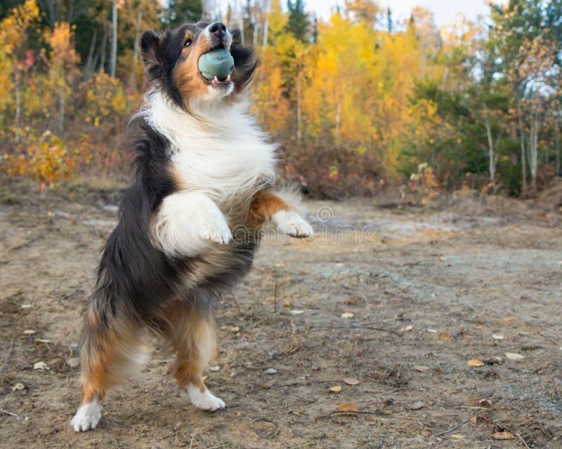 Shetland Sheepdog Fall Autumn Jump Catch Ball. Action stock photography