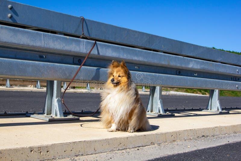 Shetland sheepdog has been abandoned on the highway. A shetland sheepdog has been abandoned on the highway stock photography