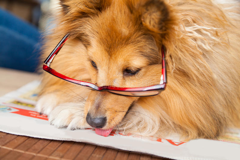 Download Shetland Sheepdog Looks Through A Pair Of Glasses Stock Photo - Image of dogs, pets: 83704138