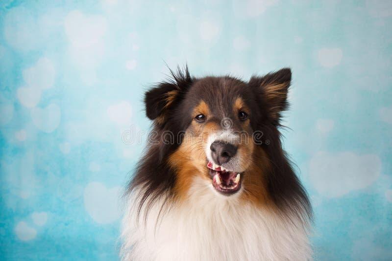 Shetland Sheepdog Studio Portrait  on a background royalty free stock images