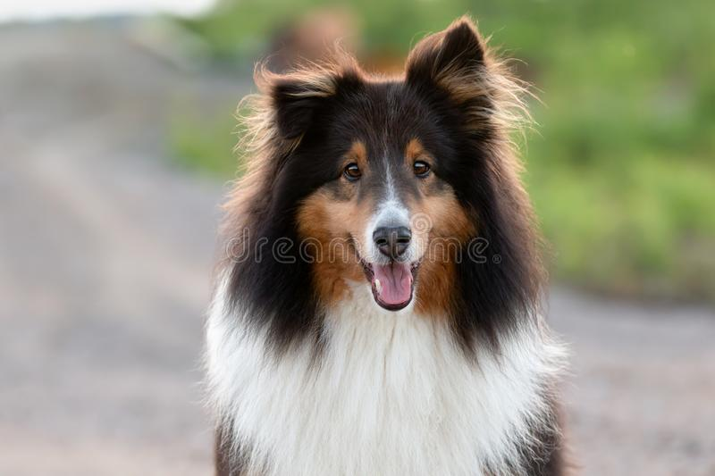 Shetland Sheepdog Outside in the Summer at Sunset royalty free stock photo