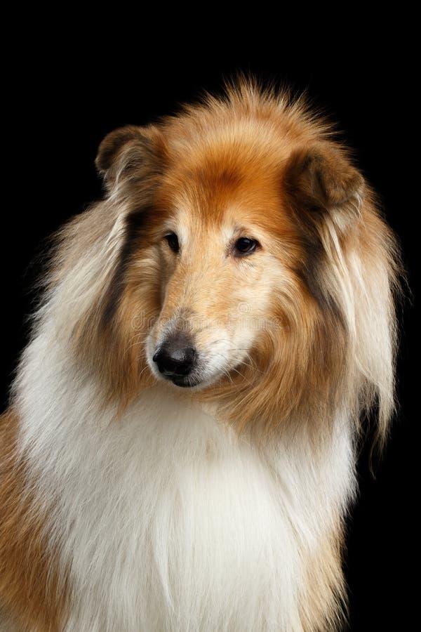 Shetland Sheepdog pies na Czarnym tle zdjęcia stock