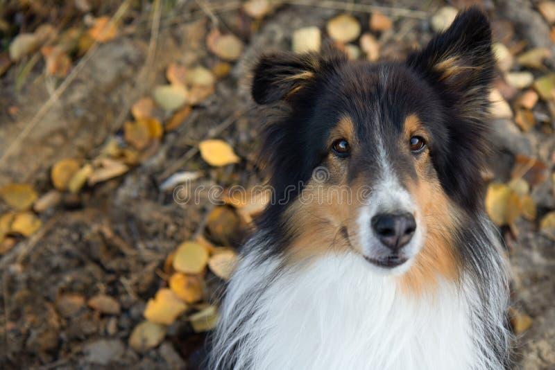 Shetland Sheepdog Portrait Fall Autumn Leaves Face Close Up. Cute stock images