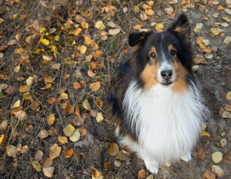 Shetland Sheepdog Portrait Fall Autumn Leaves Sit. Look royalty free stock photos