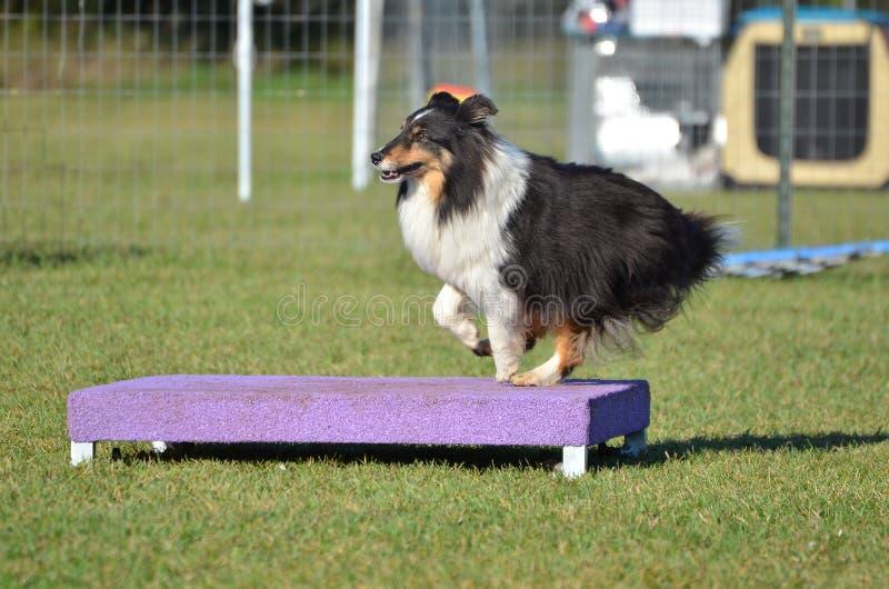 Shetland Sheepdog przy Psią zwinności próbą (Sheltie) zdjęcie stock