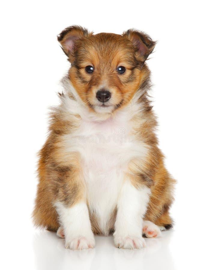 Shetland sheepdog puppy stock photography