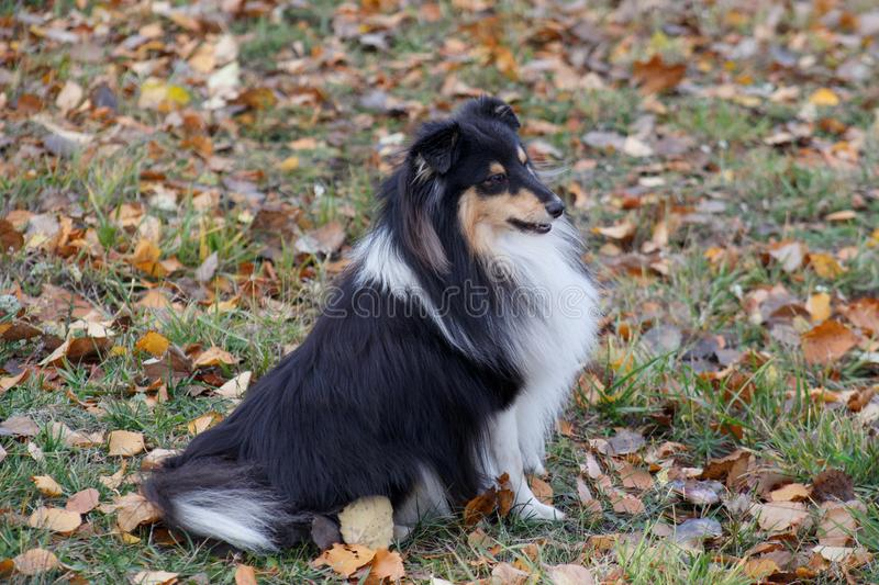 Shetland sheepdog puppy is sitting in the autumn foliage. Shetland collie or sheltie. Pet animals. Six month old stock image