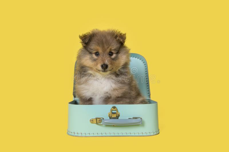Shetland sheepdog puppy sitting in a blue suitcase on a yellow background. Looking at the camera royalty free stock photography