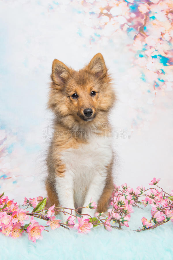 Shetland sheepdog puppy sitting. Cute sitting shetland sheepdog puppy facing the camera on a pastel pink and blue flower background stock photos