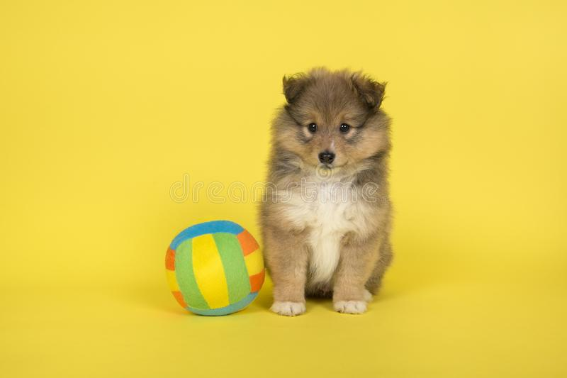 Shetland sheepdog puppy sitting on a yellow background with a colorful ball. A Shetland sheepdog puppy sitting on a yellow background with a colorful ball royalty free stock photos