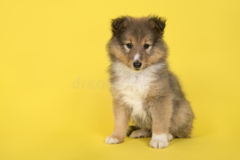 Shetland sheepdog puppy sitting on a yellow background looking at the camera. A Shetland sheepdog puppy sitting on a yellow background looking at the camera stock images