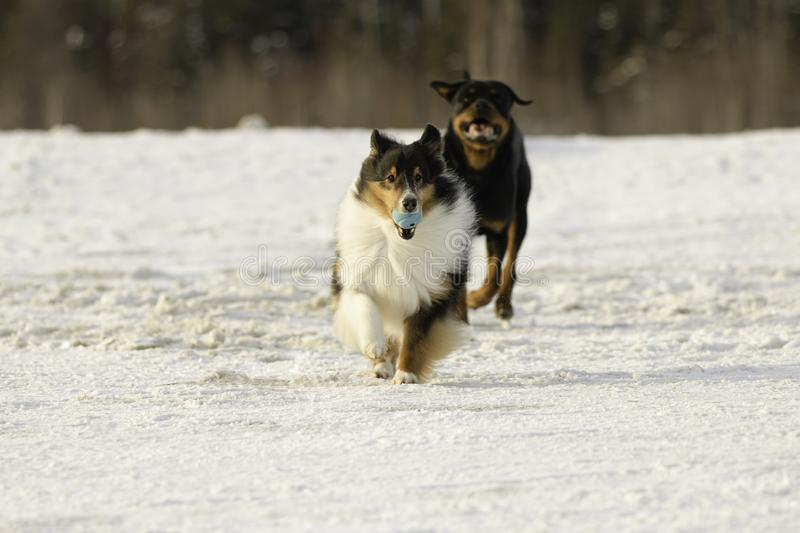 Shetland Sheepdog and Rottweiler Playing Fetch in the Snow in Winter stock photos