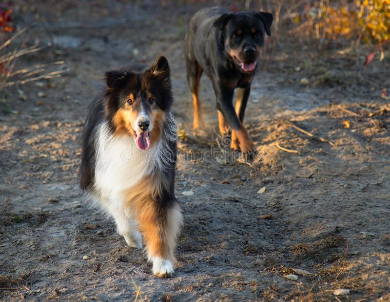 Shetland Sheepdog Rottweiler Walking Fall Autumn Sunset. Dogs stock images