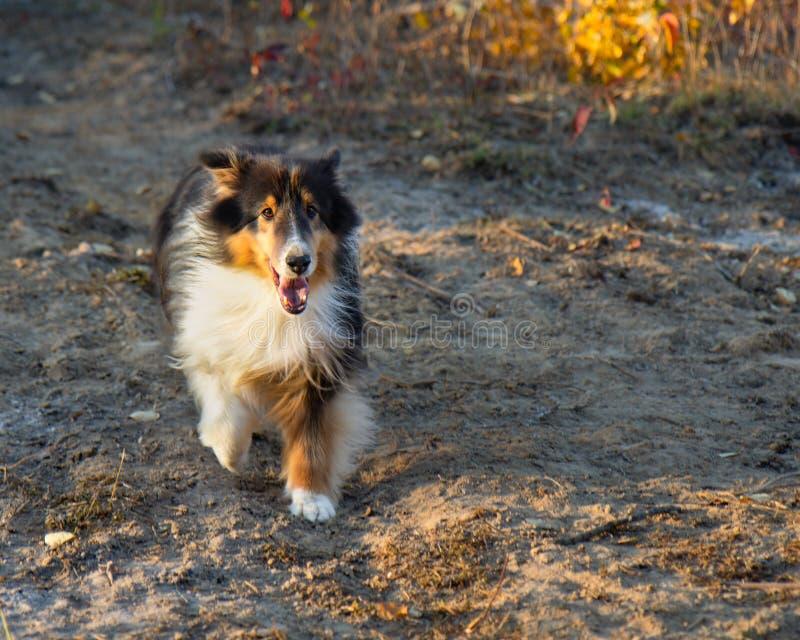 Shetland Sheepdog Running Fall Autumn Sunset. Run royalty free stock photography