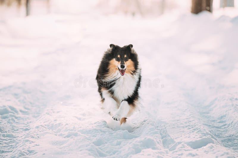 Shetland Sheepdog, Sheltie, Collie che corre fuori veloce nel parco di neve Giocatore Di Animali Da Compagnia Nella Foresta Inver immagine stock libera da diritti