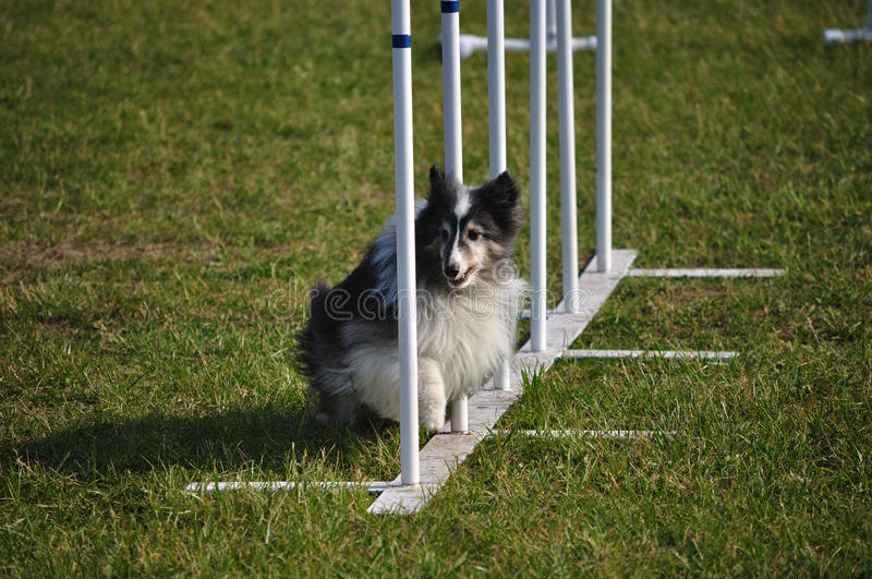 Download Shetland Sheepdog Sheltie Weave Poles Agility Stock Photo - Image: 9853898