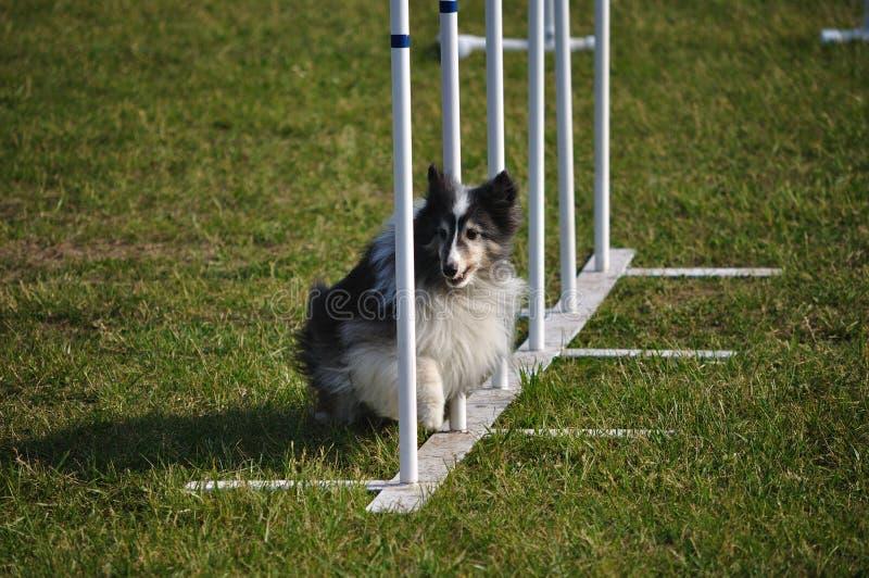 Shetland Sheepdog Sheltie weave słupów zwinność zdjęcia royalty free