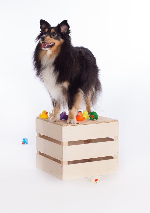 Shetland Sheepdog standing on wooden box. White studio background royalty free stock photography
